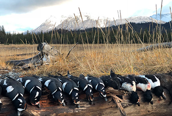 Harlequin Duck Catch From Guided Alaska Sea Duck Hunt